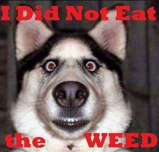 I did not eat the weed