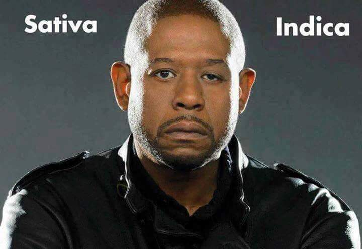 forest whitaker sativa indica weedmemes forest whitaker sativa indica faces of marijuana memes