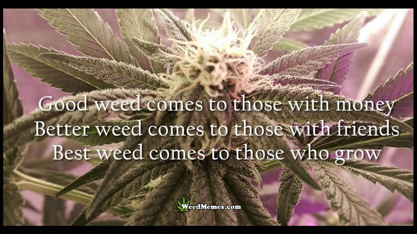 Good Better Best Weed Comes To Those Marijuana Quote