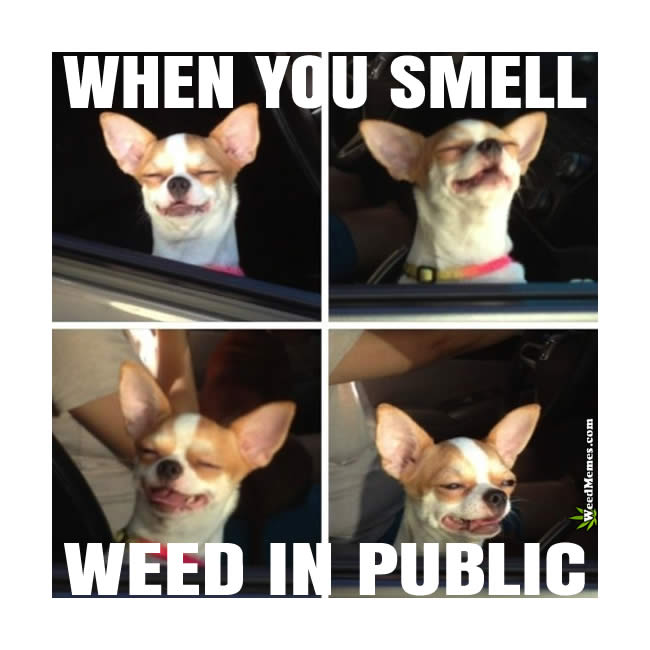 smell weed in public when you smell weed in public meme funny stoner chihuahua weed memes